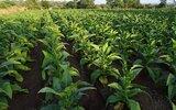 Obsza: Więcej informacji dla plantatorów tytoniu