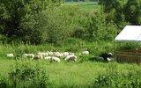 Gmina Hrubieszów: Owce wracają